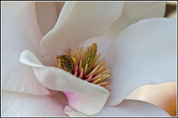 Magnolia Pollination