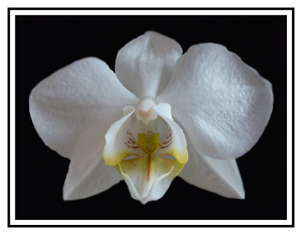 Orchid Flower by DWH58