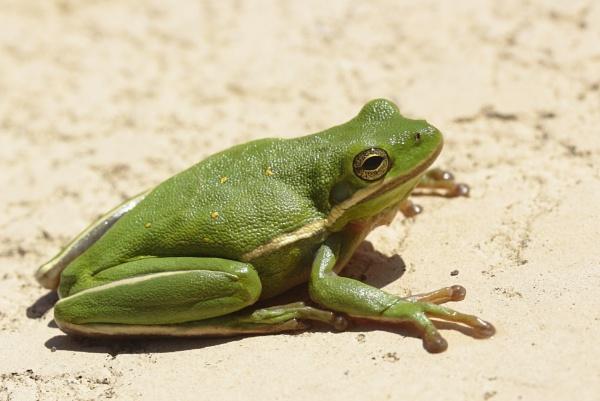 Texas Tree Frog Poolside by kaoskode