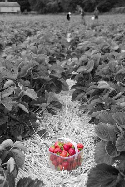 Strawberries by bgrunes