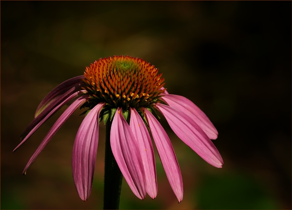 Purple Cone Flower by taggart