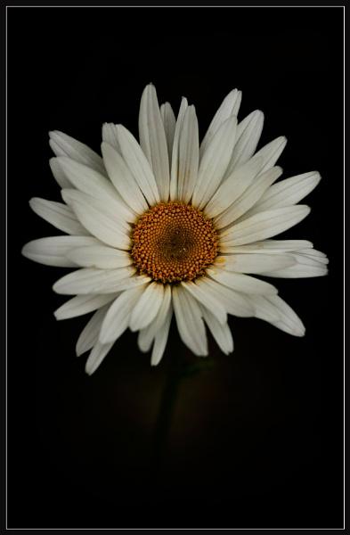 Daisytrait by Morpyre