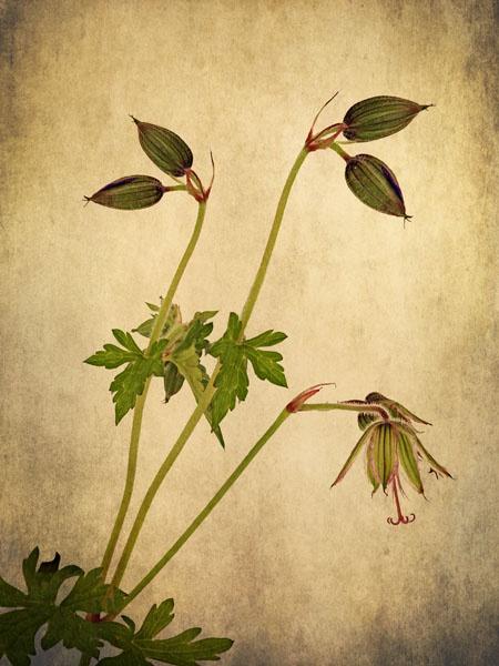 Geranium buds by JenniCh