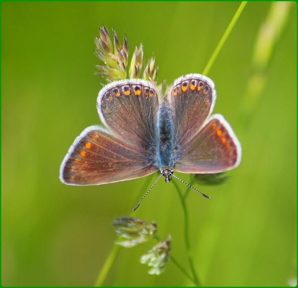 Prestbury Hill Butterflies by Glostopcat