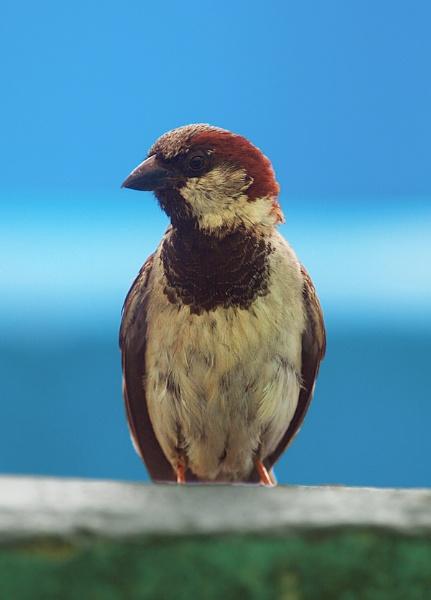 Mr Sparrow by chensuriashi