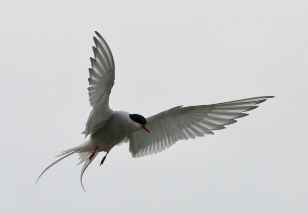 Arctic Tern by Seanf