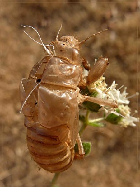 cicada skin by CarolG