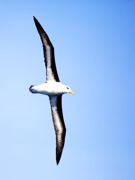 Albatross by StephenBrighton