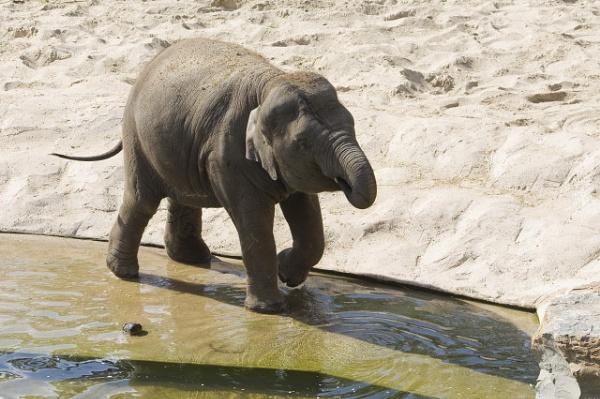 Little elephant by lionking