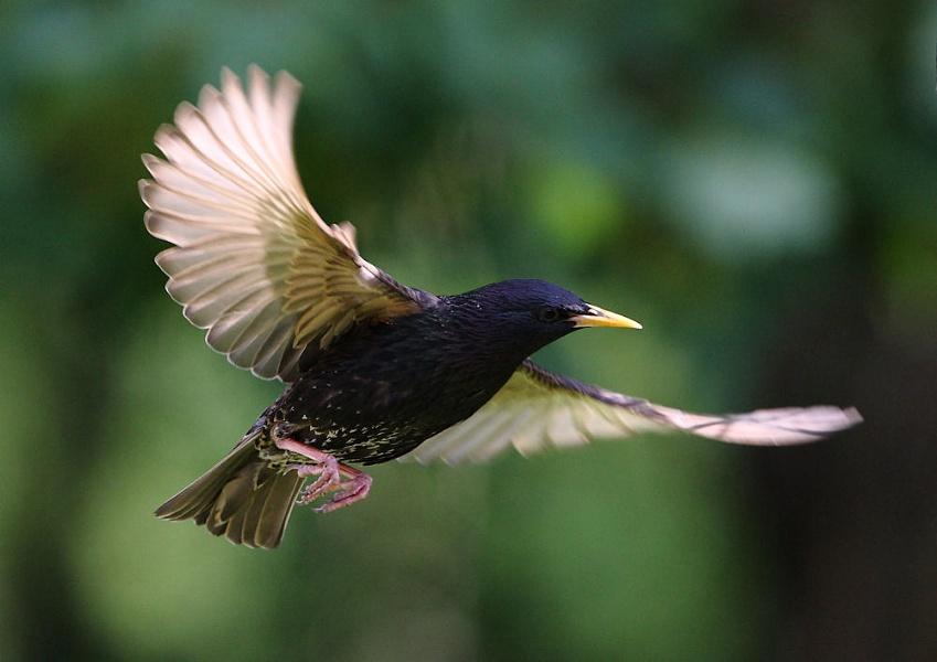Humble Starlings in Flight