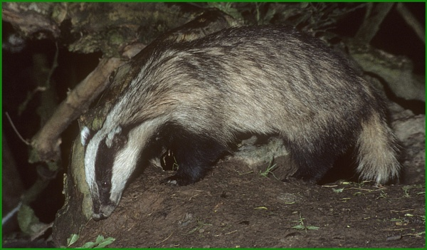 Badger Foraging 01. by Badgerfred