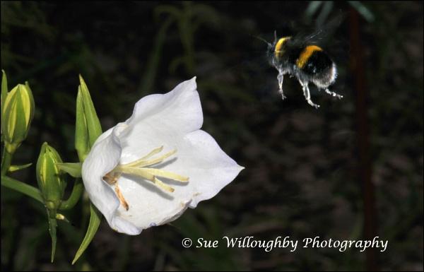 Campanula and Bee by HP1485