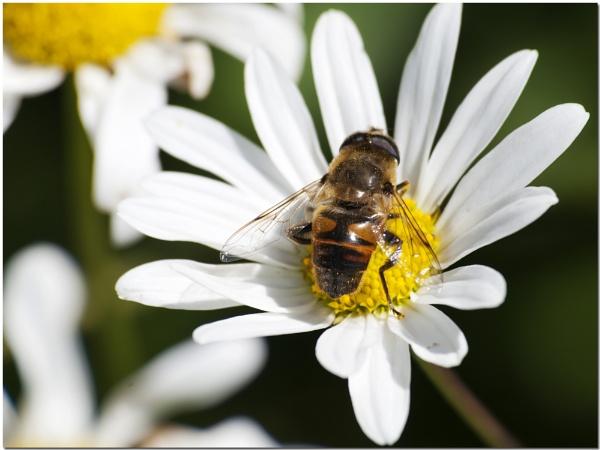 Hoverfly on Oxeye Daisy by bmott001