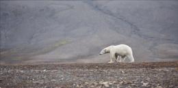Scavenging Polar Bear