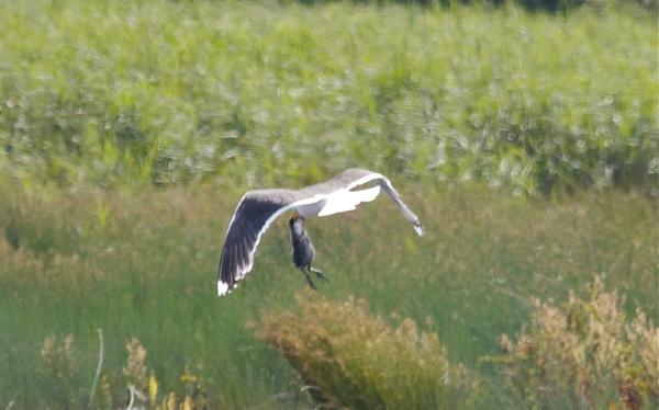 Lesser Black Backed Gull\'s breakfast by PaulLiley