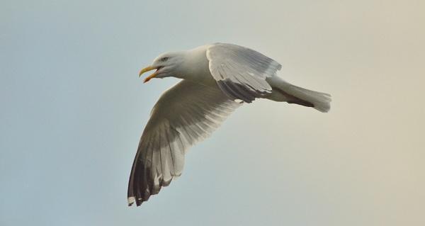 Sea Gull by JoshReptiles