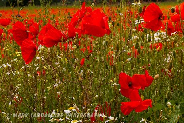 Poppies 2 by mlanda