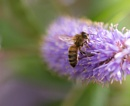 Feeding bee by Steveh550