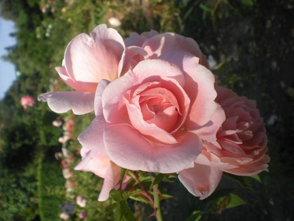 sunny rose by Virna