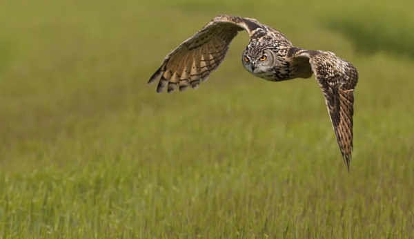 European Eagle Owl - Flight by philhomer