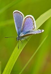 Silver Studded Blue II