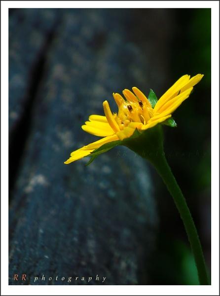Yellowish Smile by rajishravi