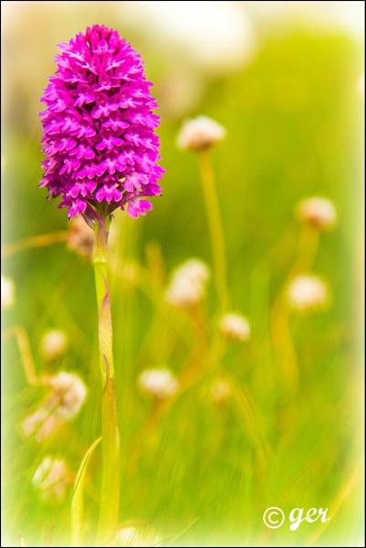 pyramid orchid by yaco