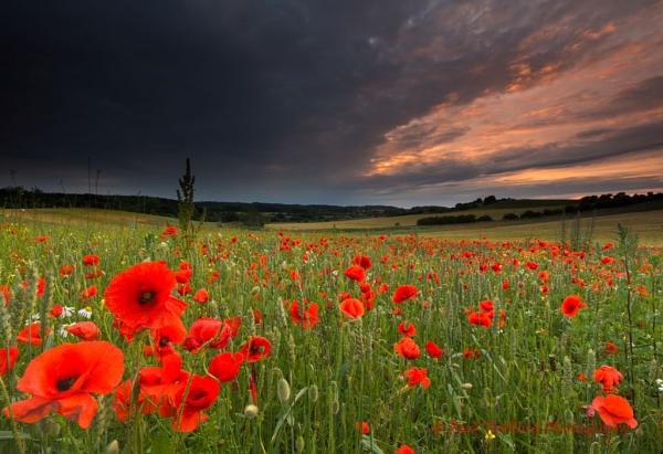 Norfolk Poppies 2 by PaulThetfordPhotography