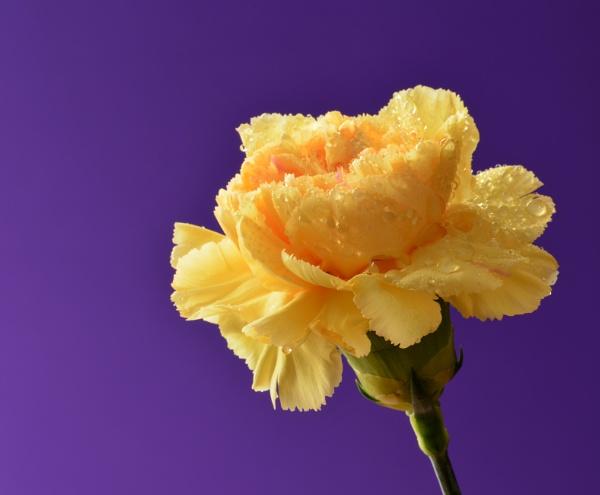 Carnation by nicedayout