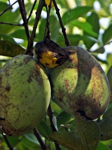 Manggoes by arhab