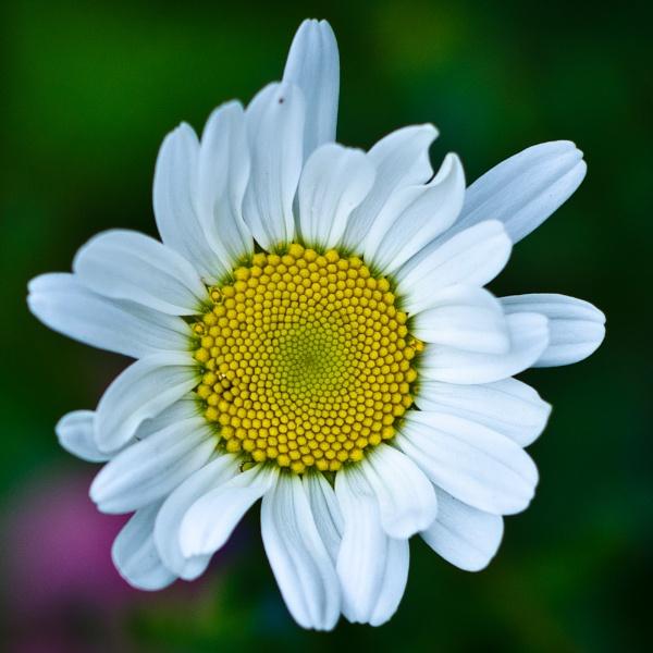 Daisy by Topcat29