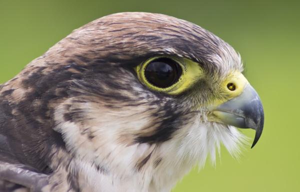 Lannar Falcon by photohog69
