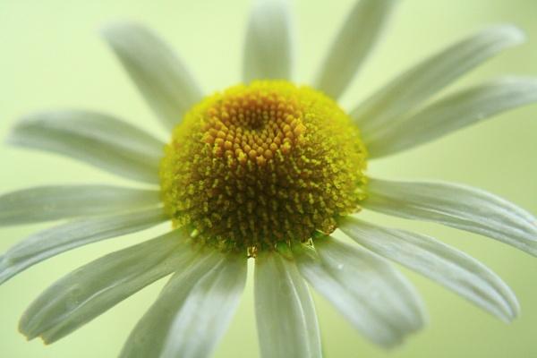 Daisy by jadefreeman