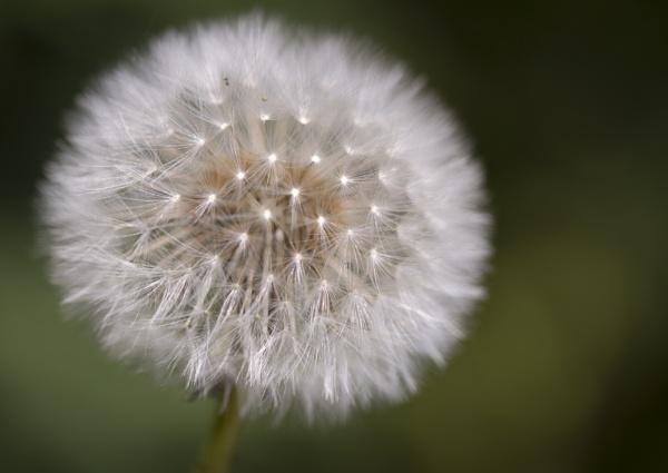 Dandelion Seeds by MarkBullen