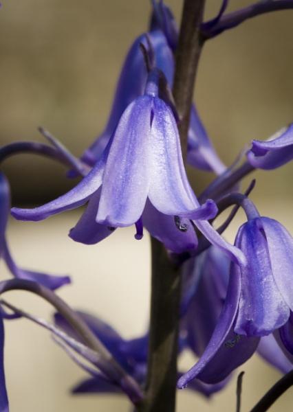 Bluebell by MarkBullen