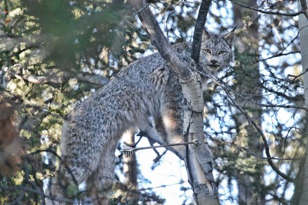 British Columbia Lynx near Tatlayoko Lake, Canada by PhotographyBySuzan