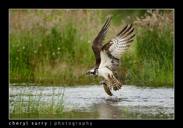 Osprey by csurry