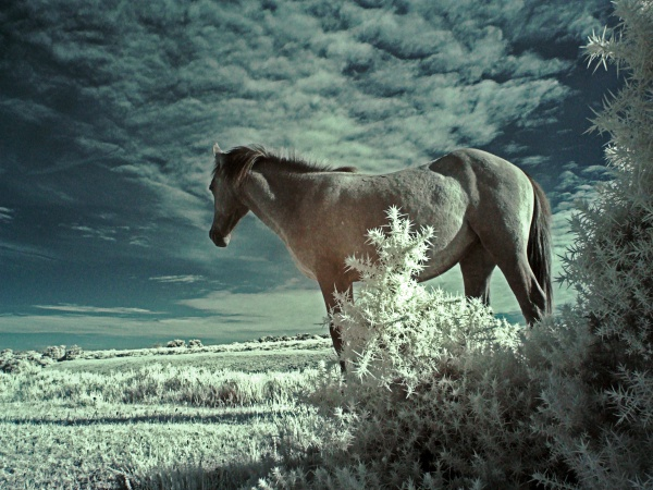New forest pony (infrared) by frenchie44