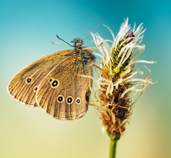 Ringlet Buterfly