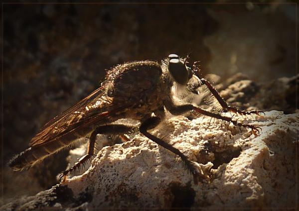 basking robberfly by CarolG