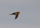 Swifts Feeding In Flight