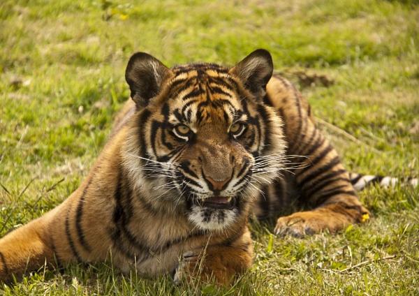 Sumatran Tiger (Panthera tigris sumatrae) by Ray42