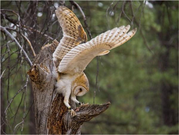 Barn Owl by Daisymaye