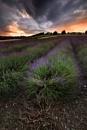 Shoreham Lavender II