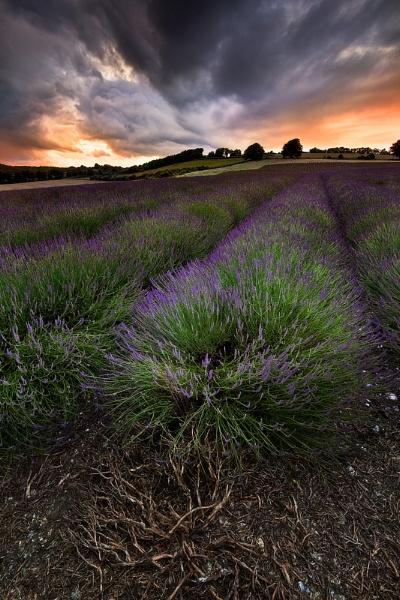 Shoreham Lavender II by derekhansen