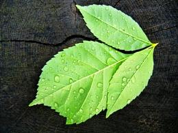 Leaf # 1