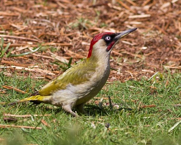 Green Woodpecker by Brian65
