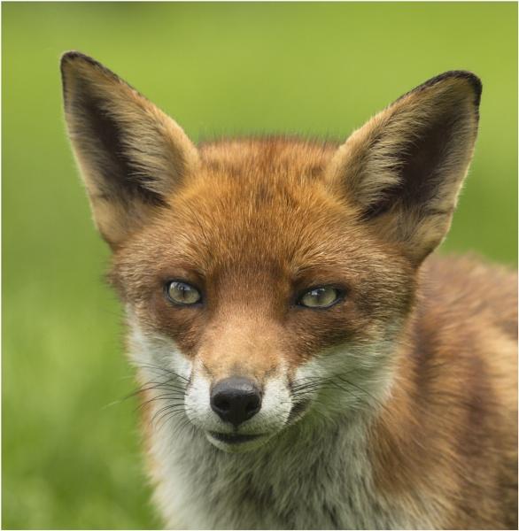 Mrs Fox by Lillian