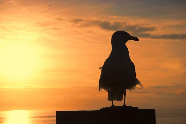 GULL AT SUNSET by Zacian