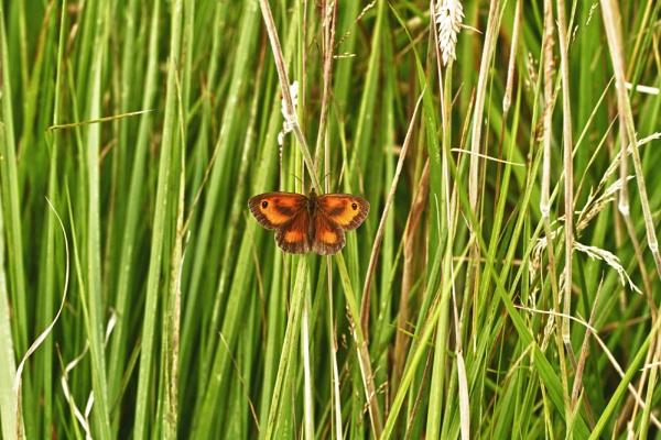 Gatekeeper butterfly sitting in the sun by rick9449